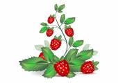 Branch with berries raspberries — Stock Vector
