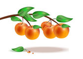 Ripe peaches on a branch on white background — Stock Vector