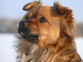 Pooch. The muzzle of the red-haired mongrel. — Stock Photo