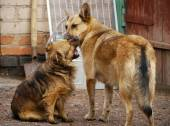 Tykes. Two domestic dogs play in the yard near the house with ea — Stock Photo