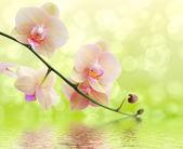 Orchid en reflectie op witte achtergrond — Stockfoto