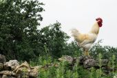 White rooster walking on the stone wall — Stock Photo