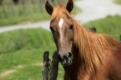 Brown Horse Next to a Fence — Stock Photo
