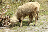 White Sheep in a Pasture — Stock Photo