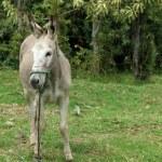 Jerusalem Donkey on a Farm — Stock Photo #54498493