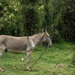 Jerusalem Donkey on a Farm — Stock Photo #54498497