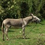 Jerusalem Donkey in a Pasture — Stock Photo #54498529