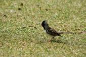 Харрис Воробей на траве — Стоковое фото