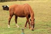 Castanho cavalo pastando em um pasto — Fotografia Stock