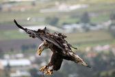 Flying Eagle — Stock Photo
