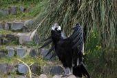 Female Andean Condor Sunning — Stock Photo