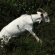 Goat Standing in Bushes — Stock Photo #56819781