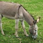 Jerusalem Donkey Grazing — Stock Photo #56929311