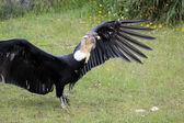 Andean Condor on Grass — Stockfoto