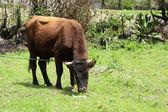 Brown Bull in a Pasture — Stock fotografie