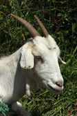 Face of a White Goat — Stock Photo