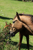 Brown Horse Grazing on Bushes — Stockfoto