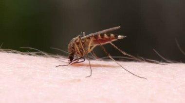 Sangue de mosquito chupando na pele humana — Vídeo stock