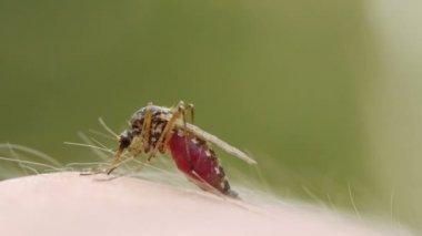 Mosquito blood sucking on human skin — Stock Video