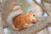 Red squirrel portrait on natural background — Stock Photo