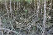Mangrove forest — Stock Photo