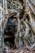Ficus Strangulosa Banyan tree growing over a doorway in the anci — Stock Photo