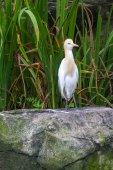 Cattle Egret (Bubulcus ibis) in bird park of Kuala Lumpur — Stock Photo