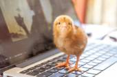 Cute chick on laptop keyboard, cooperation technology environmen — Foto de Stock