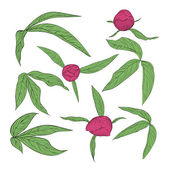 Set of beautiful peony leaves and buds isolated on white — Stock Vector
