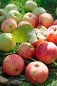 Organic apples gathered in fall — Stock Photo