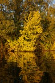 Tree reflecting in water, autumn scenics — Stock Photo
