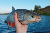Große döbel in fisherman's hand — Stockfoto