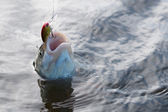 Chub caught on a plastic bait in water  — Stock Photo