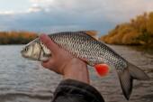 Chub in fisherman's hand — Stock Photo
