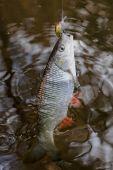 Chub caught on a plastic bait — Foto de Stock