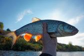 Wirklich große Döbel in fisherman's hand — Stockfoto