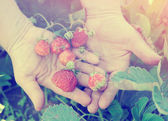Farmer shows ripe organic strawberries, toned image — Stock Photo