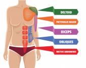 Vector anatomy muscles illustration — Stock Vector