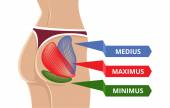 Vector Flat Gluteus Maximus Illustration — Stock vektor