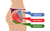 Vektor platt Gluteus Maximus Illustration — Stockvektor