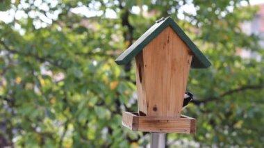 Birds Titmouse feeding — Stock Video