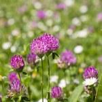 Flower clovers — Stock Photo #75517303
