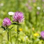 Flower clovers — Stock Photo #75517327