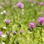 Flower clovers — Stock Photo #75517329