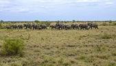 Wild elephants in African savannah — Stock Photo