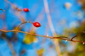 Red hawthorn berries, healthy wild fruits on blue sky — Stock Photo
