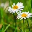 First signs of spring. Daisies flowers in grass. — Stock Photo #52077675