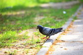 Hungry pigeon eating bread in the street — Foto Stock