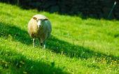 Sheep on beautiful mountain meadow in Norway — Stock Photo