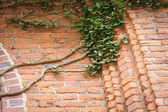 Red brick wall and ivy leaves green plants — Stock Photo
